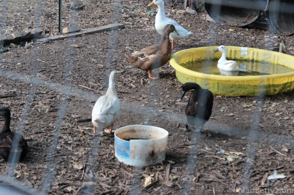 Springdale Farm ducks