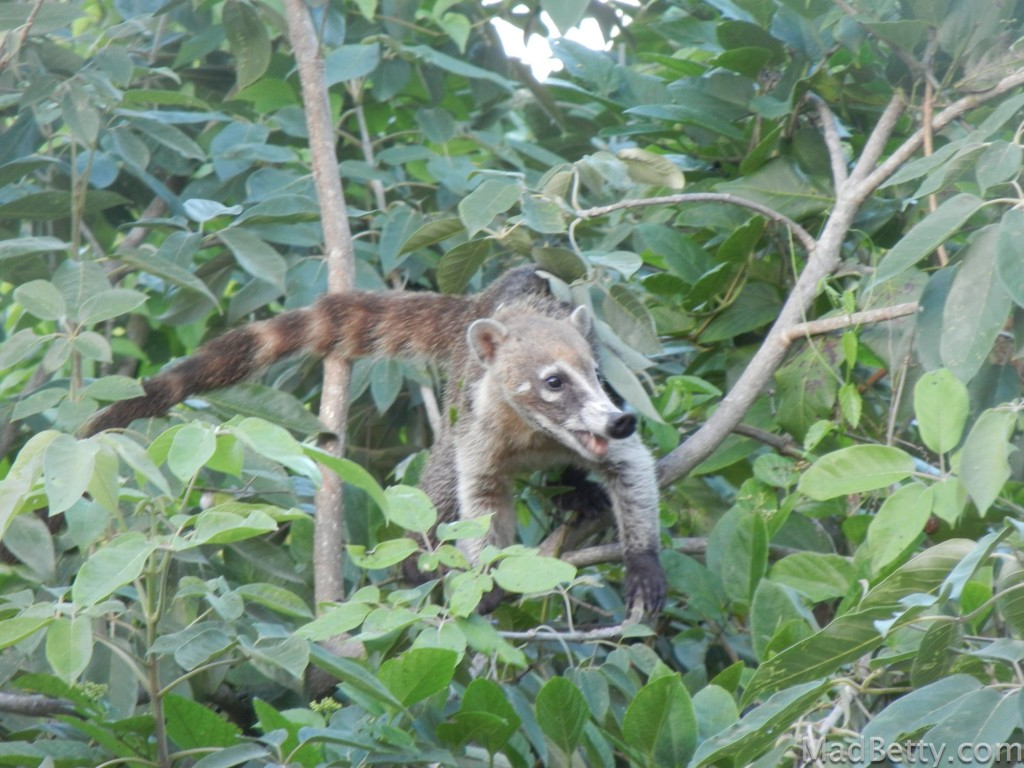 Coati at Sandos Playacar