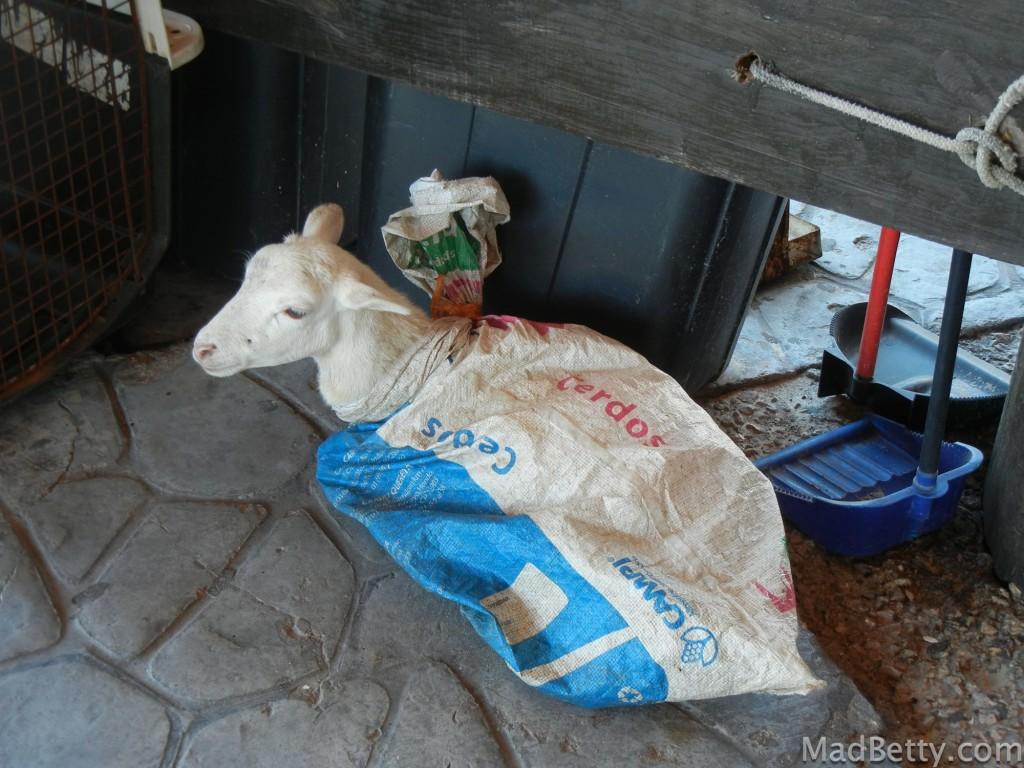 Goat in a bag